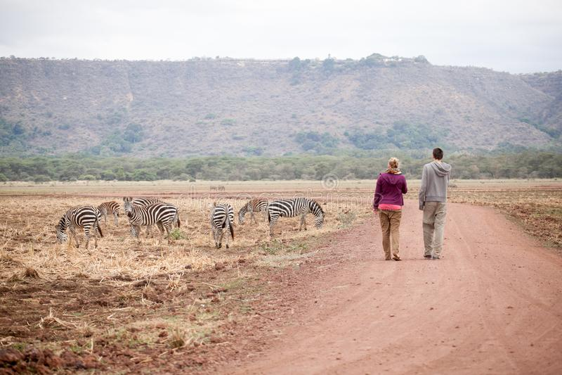 Modiga turister som går i savann nära en familj av oförskräckta sebror arkivbilder