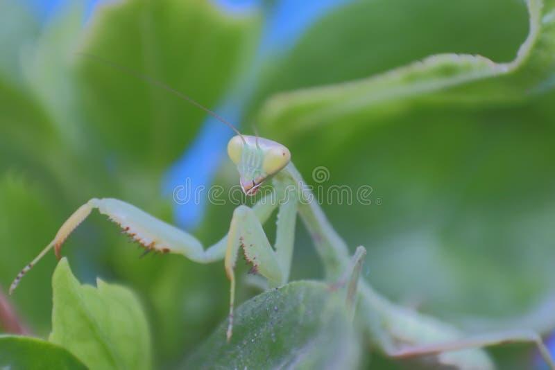 Modleń mantises, insekty fotografia royalty free