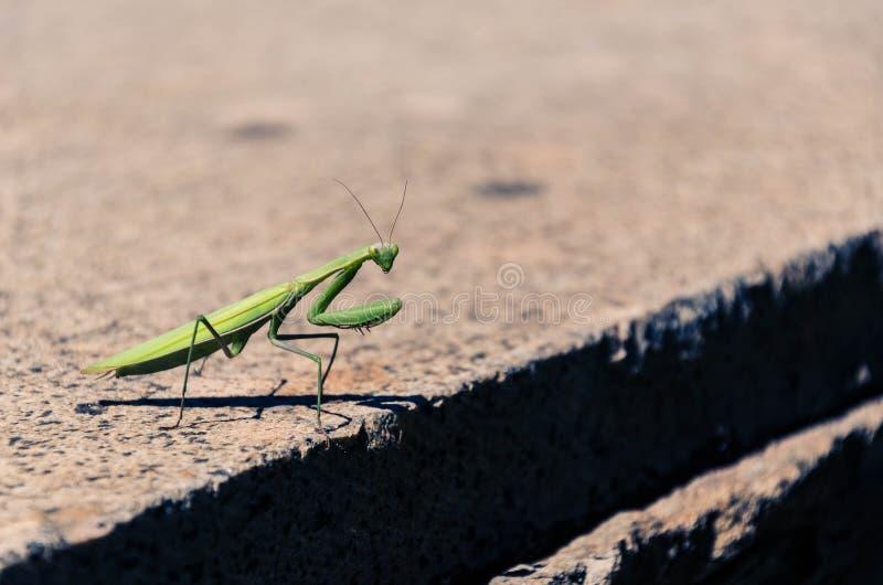 Download Modliszka zdjęcie stock. Obraz złożonej z zwierzę, insekt - 57673838