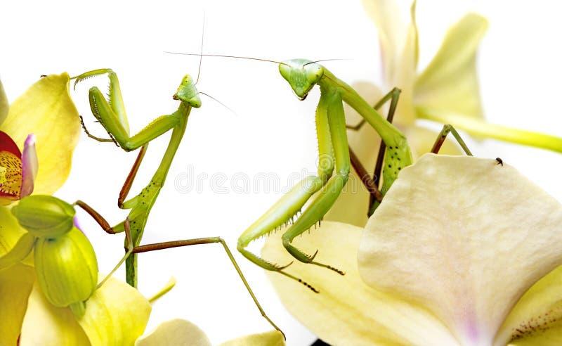 Modliszka na orchidei zdjęcia royalty free