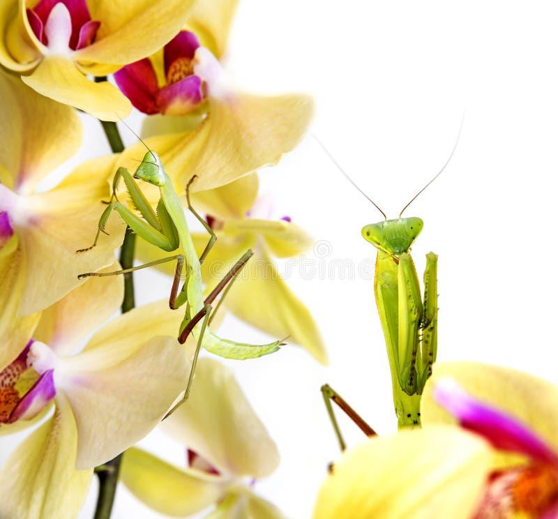 Modliszka na orchidei zdjęcie royalty free