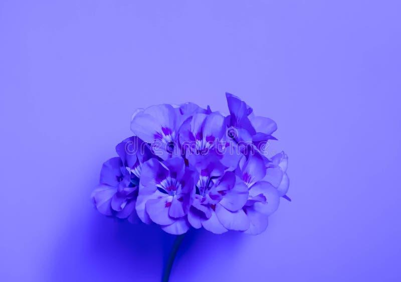 Modny błękitny tło z kwiatami Piękny wzór odizolowywający purpurowy sukulent na błękitnym tle dla projekta Odgórny widok ilustracja wektor