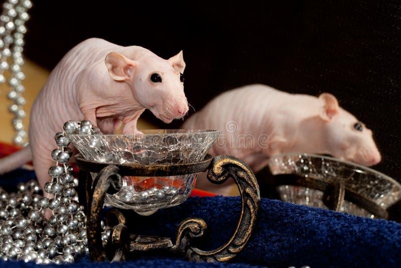 Modny szczur i kolia obrazy stock