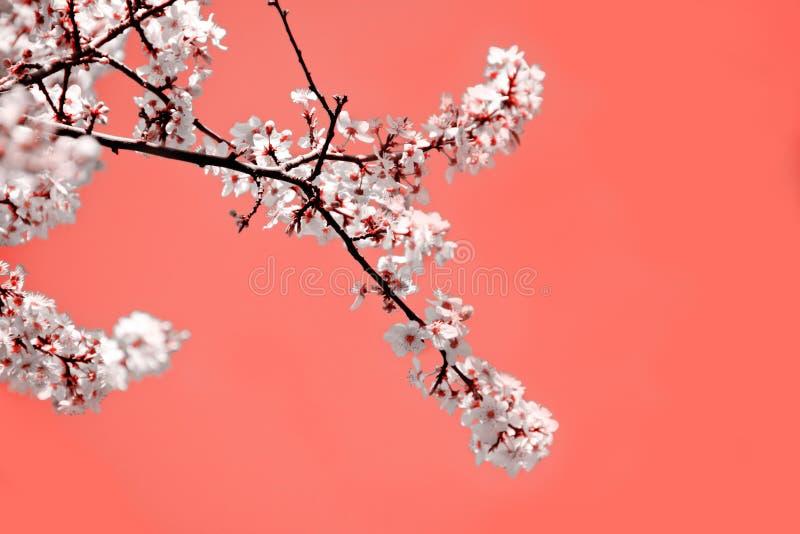 Modo da mola Fundo coral com as flores de floresc?ncia brancas da cereja para os feriados imagem de stock