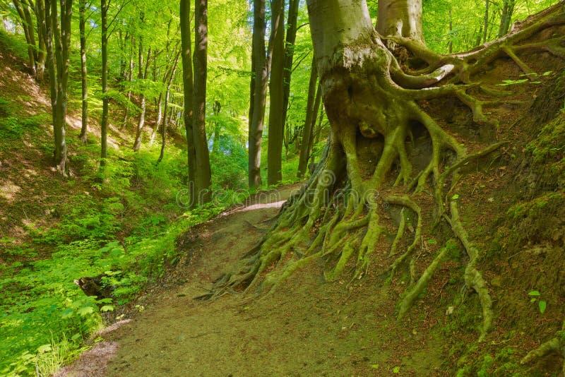 Modo dalle radici verdi del faggio della foresta Alberi in natura fotografia stock