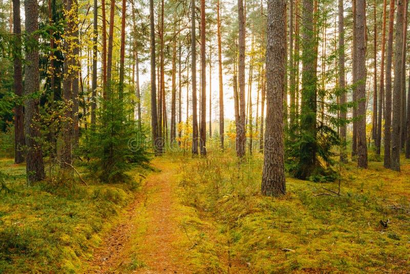 Modo del passaggio pedonale del vicolo del percorso di bobina con il bello autunno conifero immagine stock libera da diritti