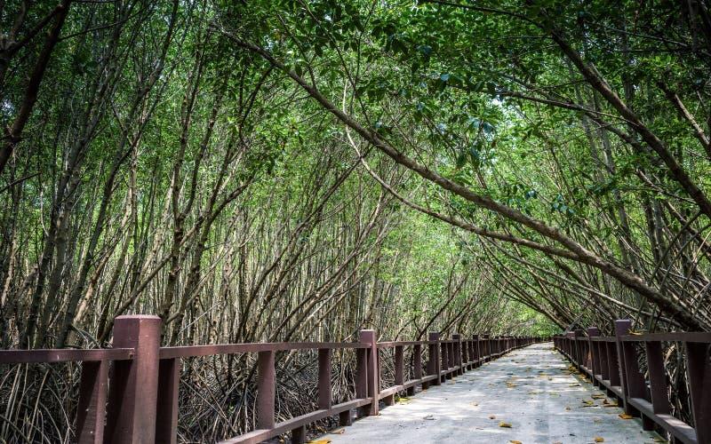 Modo della passeggiata dentro la foresta della mangrovia immagine stock libera da diritti