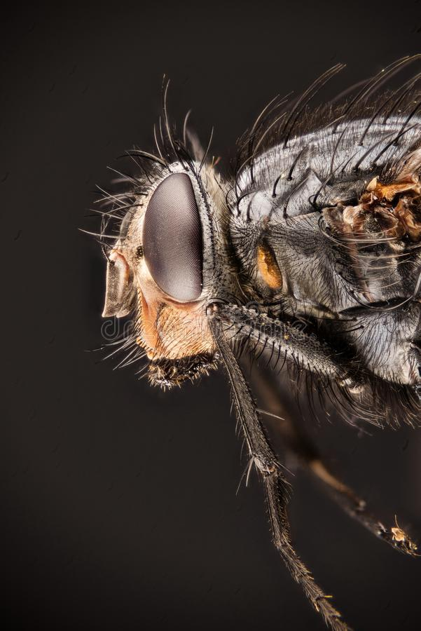 Modrak komarnica, Bottlebee, Calliphora vomitoria obraz stock