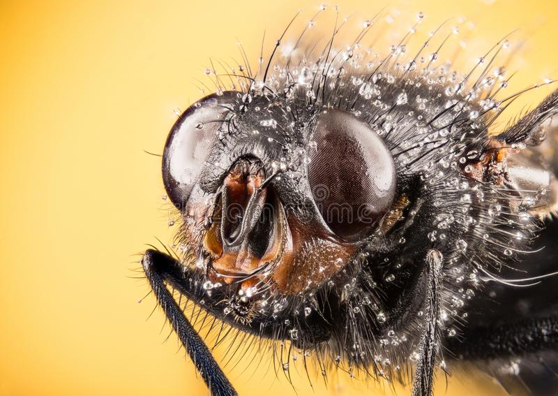 Modrak komarnica, Bottlebee, Calliphora vomitoria obraz royalty free