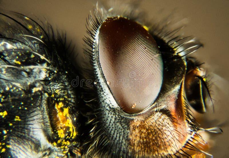Modrak komarnica, Bottlebee, Calliphora vomitoria zdjęcie stock