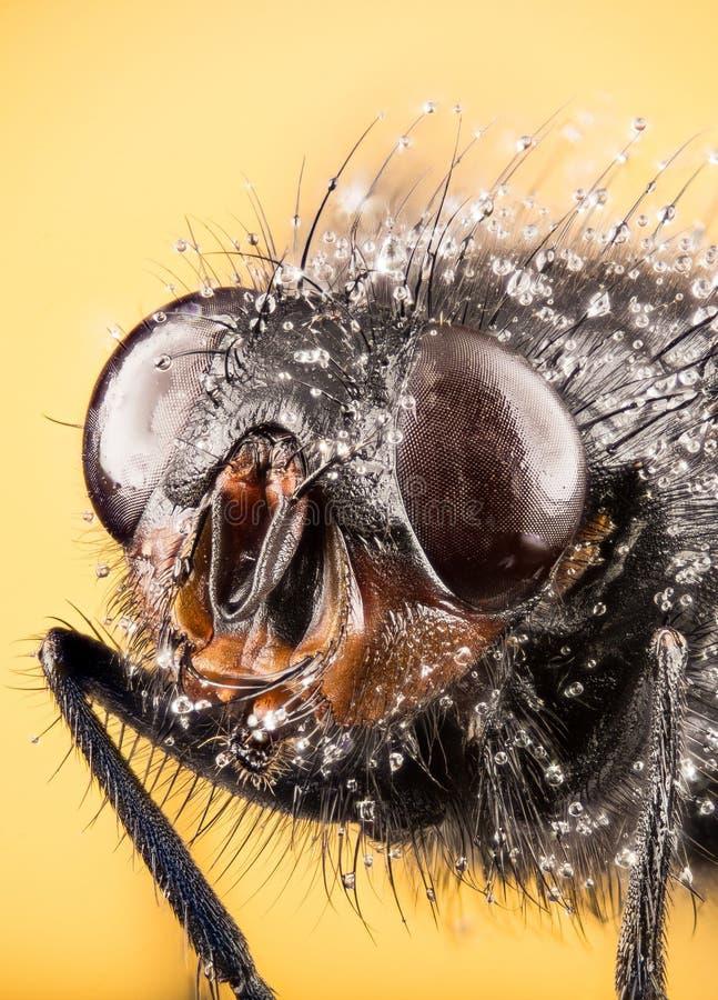 Modrak komarnica, Bottlebee, Calliphora vomitoria obrazy stock