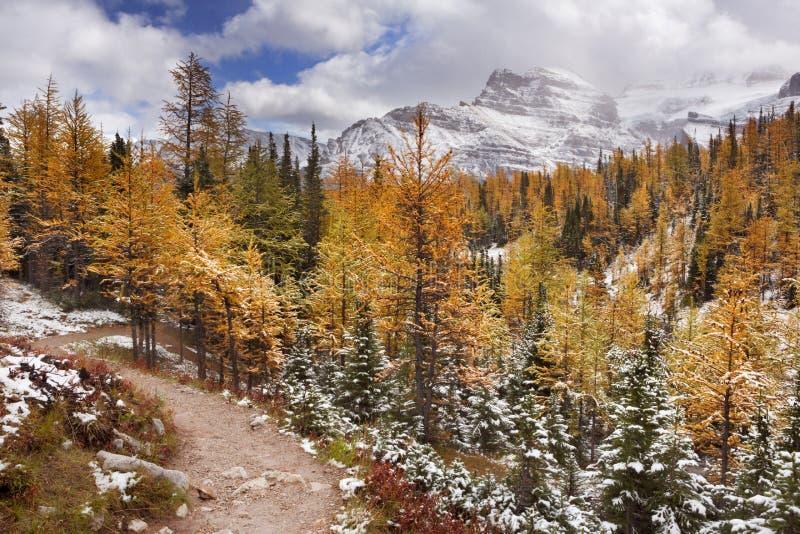 Modrzewiowi drzewa w spadku po pierwszy śniegu, Banff NP, Kanada obraz royalty free