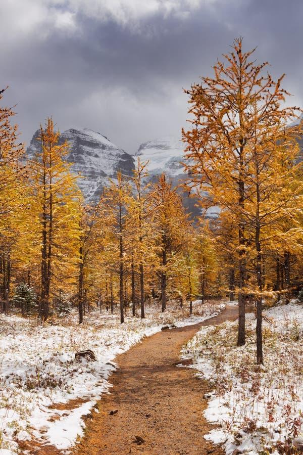 Modrzewiowi drzewa w spadku po pierwszy śniegu, Banff NP, Kanada zdjęcie royalty free