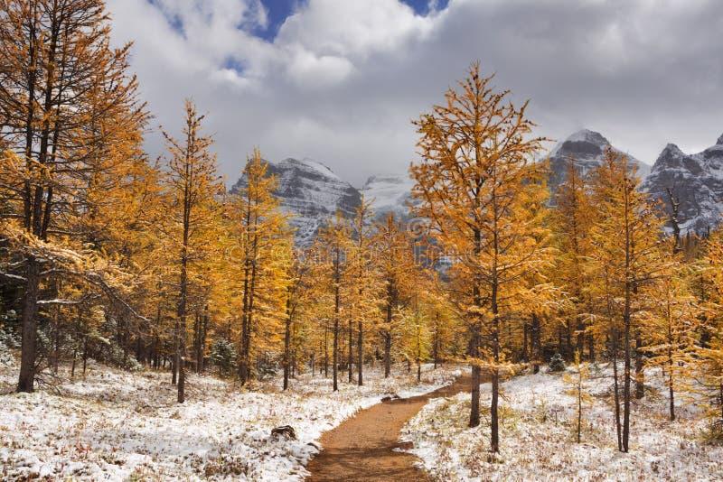 Modrzewiowi drzewa w spadku po pierwszy śniegu, Banff NP, Kanada zdjęcia stock