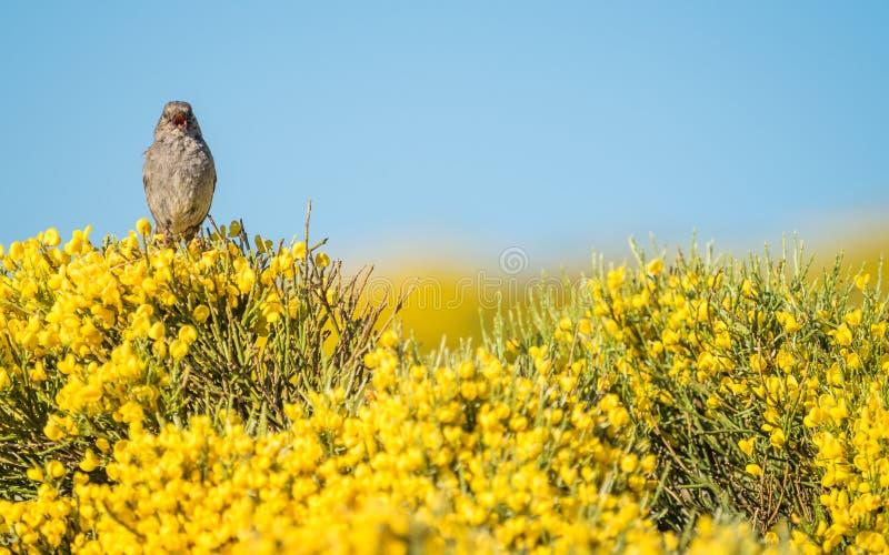Modularis Prunella πουλιών Dunnock που τη ζωηρόχρωμη άνοιξη στοκ φωτογραφία με δικαίωμα ελεύθερης χρήσης
