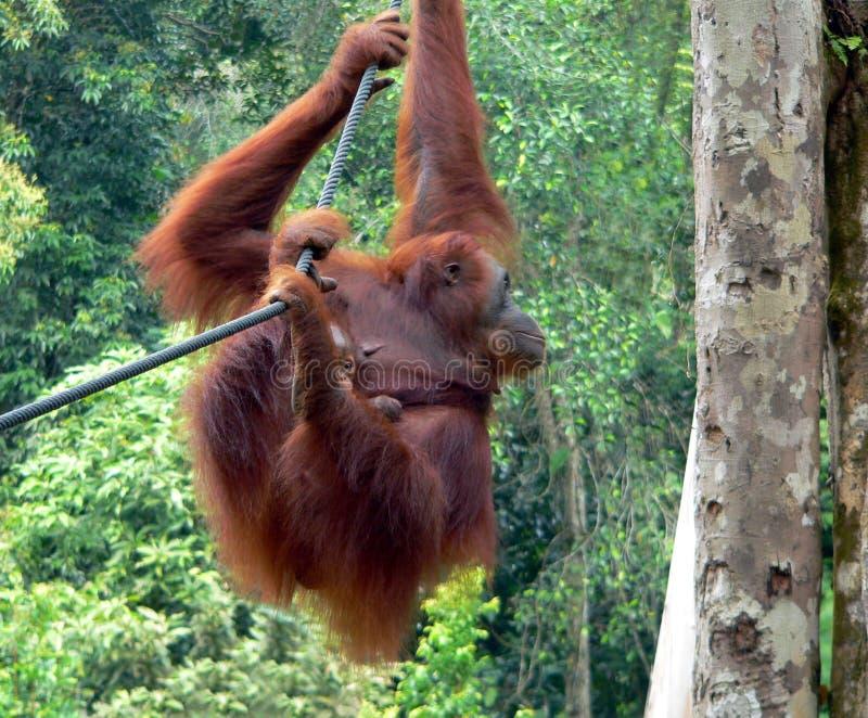 Moeder & Baby, Gerehabiliteerde Orangoetans royalty-vrije stock foto