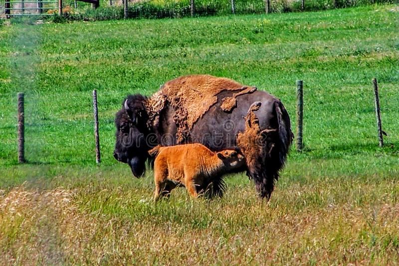 Moeder Bison Nursing Baby Calf in Utah royalty-vrije stock foto's