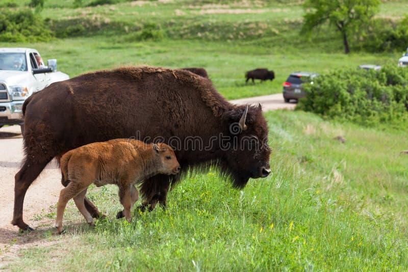 Moeder Bison Protecting Baby royalty-vrije stock afbeeldingen