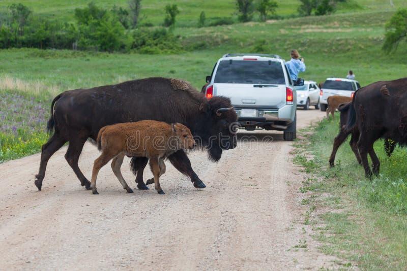 Moeder en Baby Bison Crossing de Weg royalty-vrije stock fotografie