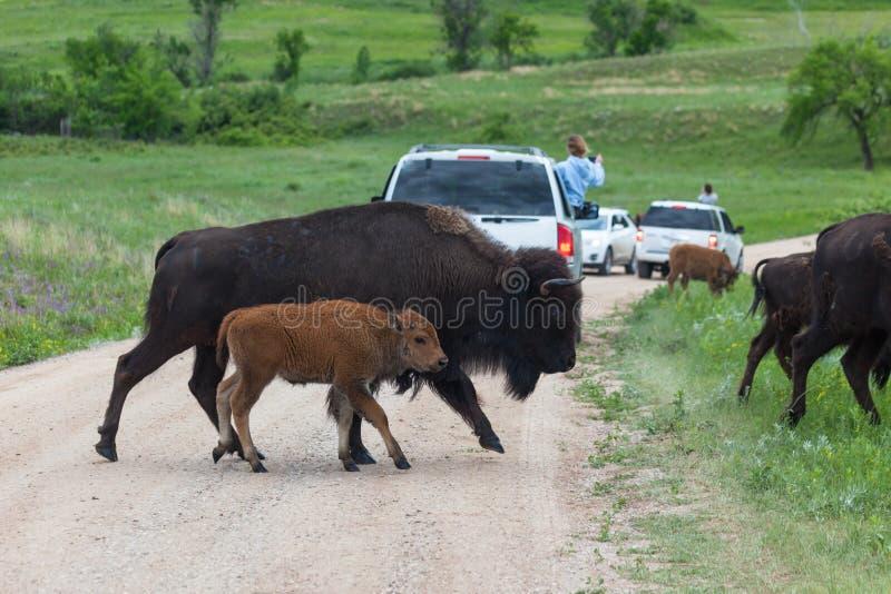 Moeder en Baby Bison Crossing de Weg stock fotografie
