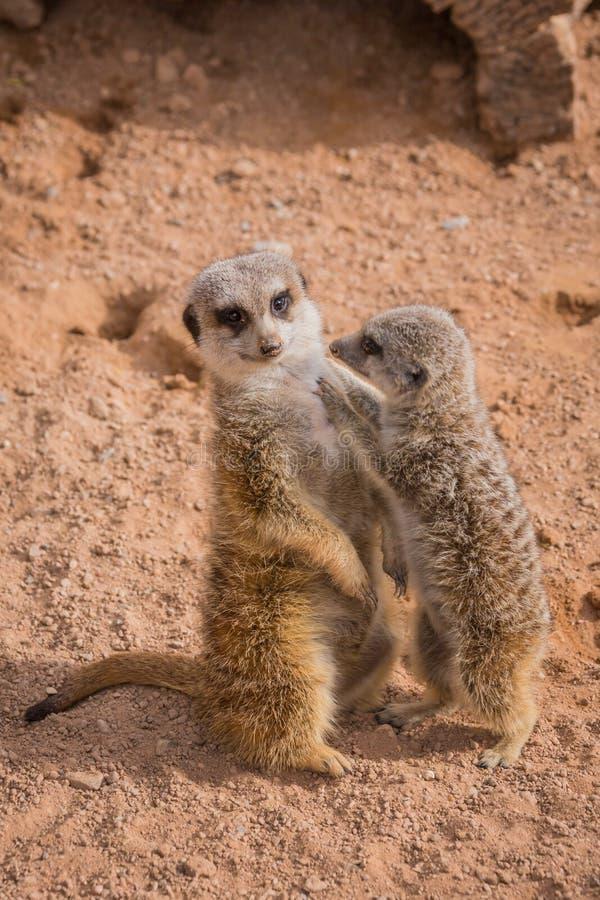 Moeder en baby die meerkats koesteren stock foto