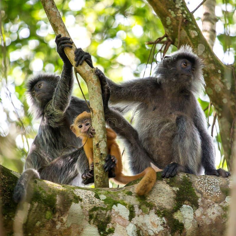Moeder en baby van verzilverde blad langur aap stock foto's