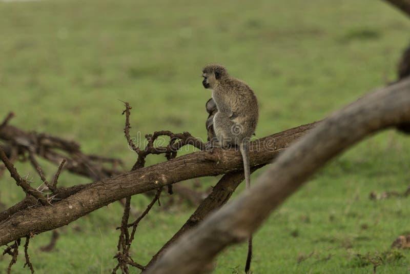 Moeder en baby vervet apen die in een boom zitten stock foto
