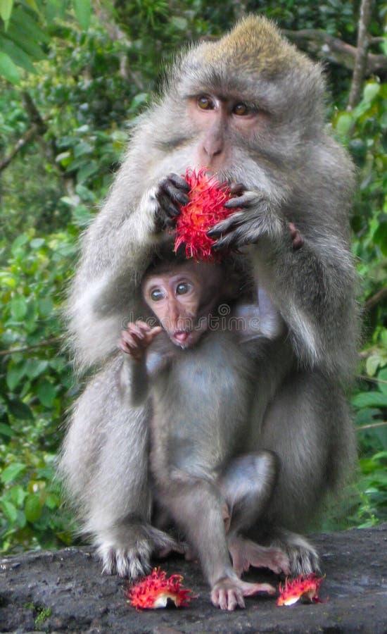 Moeder en Babyaap die van Rood Dragon Fruit genieten stock fotografie