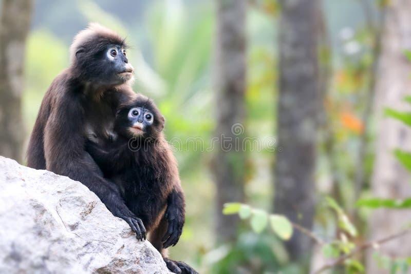 Moeder en babyaap of duistere langur lette op het bos royalty-vrije stock afbeeldingen