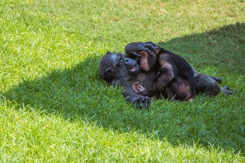 Moeder en babychimpansees royalty-vrije stock foto's