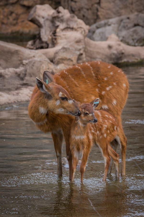 Moeder en babydeers royalty-vrije stock foto
