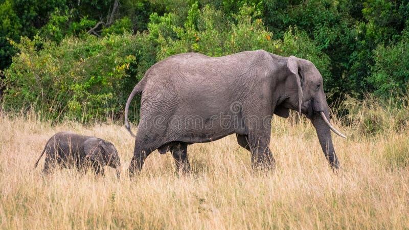 Moeder en babyolifant in Afrikaanse savanne, in Masai Mara, Kenia royalty-vrije stock foto
