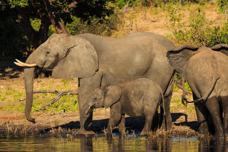 Moeder en babyolifant die Chobe Botswana drinken royalty-vrije stock foto's