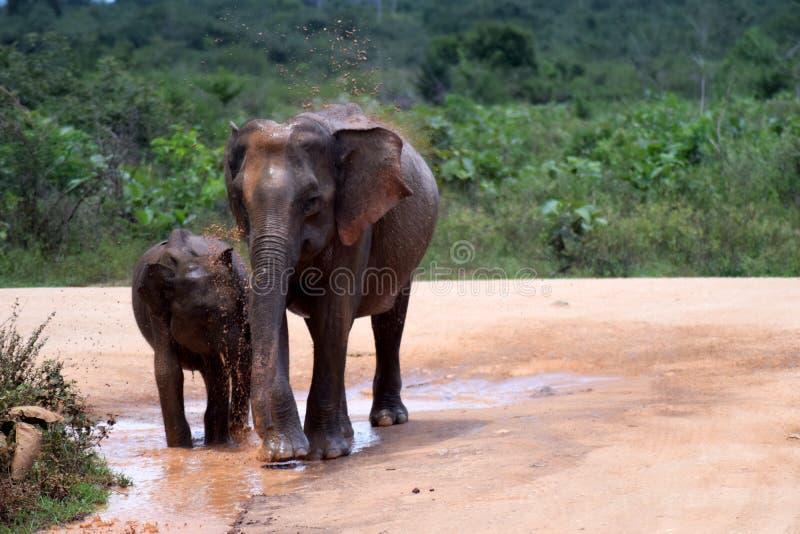 Moeder en Babyolifant die koelen in een Vulklei, Uda Walawe National Park Sri Lanka stock foto's