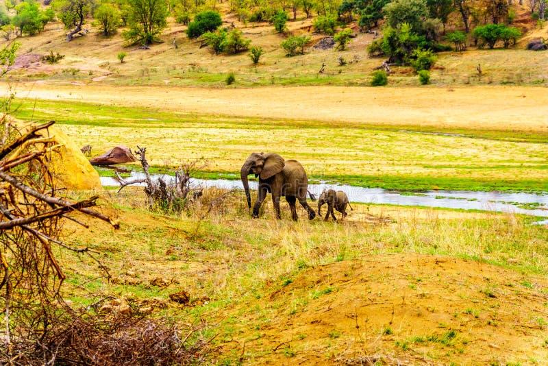 Moeder en Babyolifant die uit de Letaba-Rivier in Kruger-Park, Zuid-Afrika komen royalty-vrije stock afbeelding