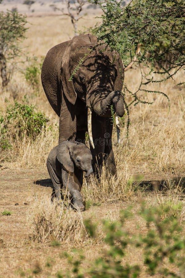 Moeder en babyolifanten royalty-vrije stock afbeelding