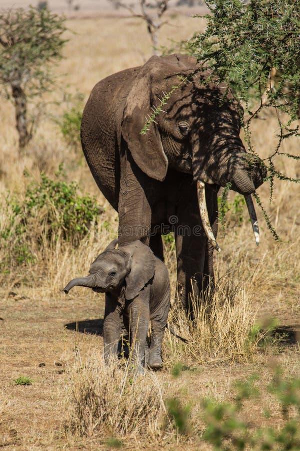 Moeder en babyolifanten stock afbeeldingen