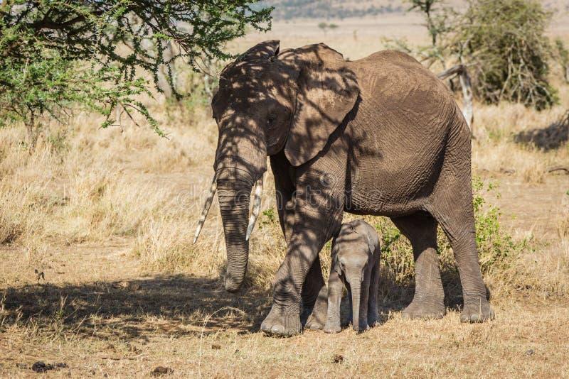 Moeder en babyolifanten stock afbeelding