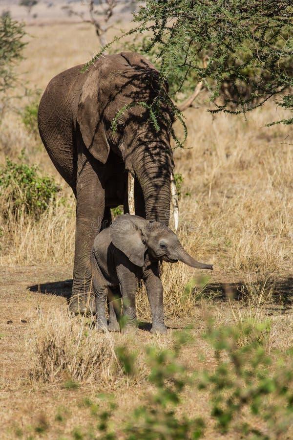 Moeder en babyolifanten royalty-vrije stock afbeeldingen