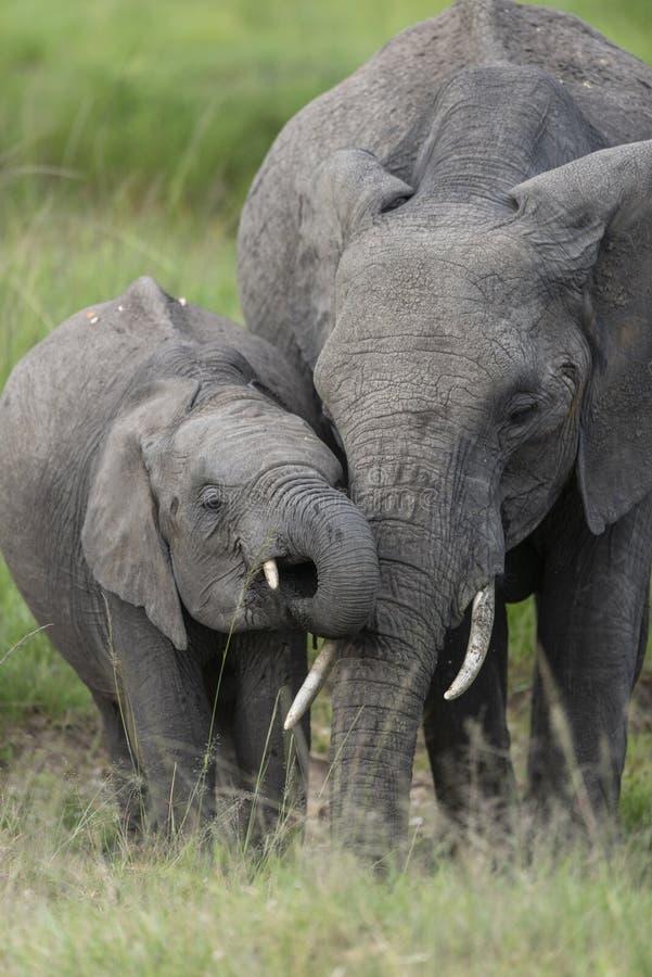 Moeder en babyolifants drinkwater in Masai Mara Game Reserve, Kenia stock afbeeldingen