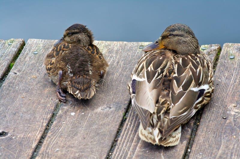 Moeder en Dochter Duck Family Resting royalty-vrije stock fotografie