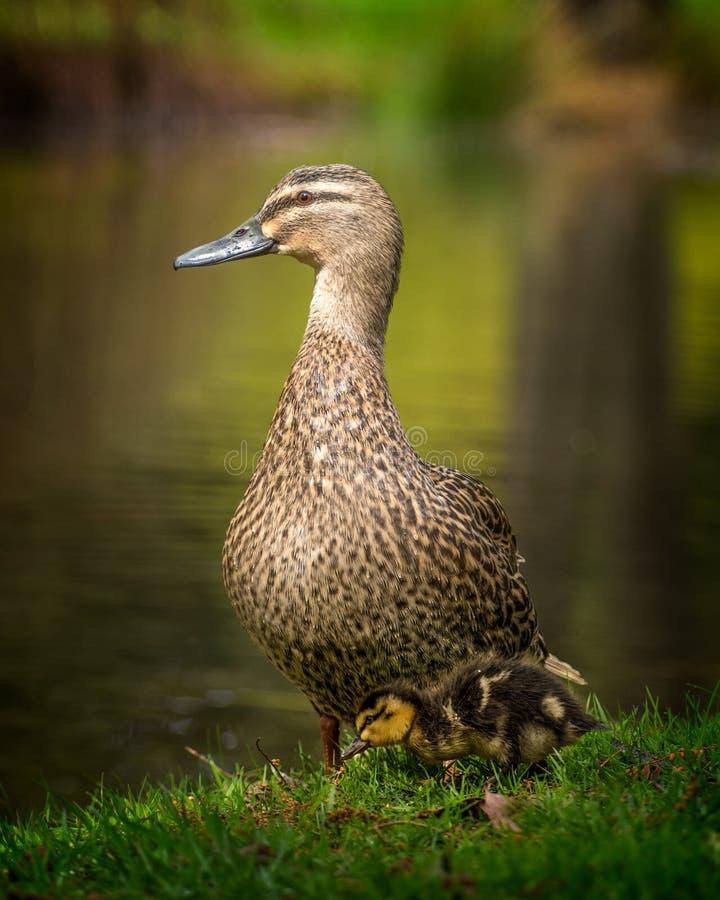 Moeder en eendje stock afbeeldingen