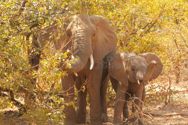 Moeder en haar jonge olifant stock foto's