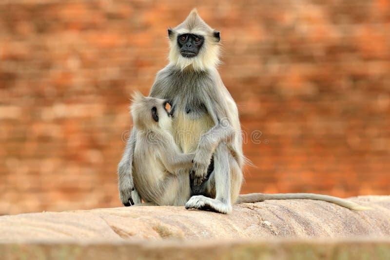 Moeder en jongelui, het de borst geven Het wild van Sri Lanka Gemeenschappelijke Langur, Semnopithecus-entellus, aap op de oranje royalty-vrije stock afbeeldingen