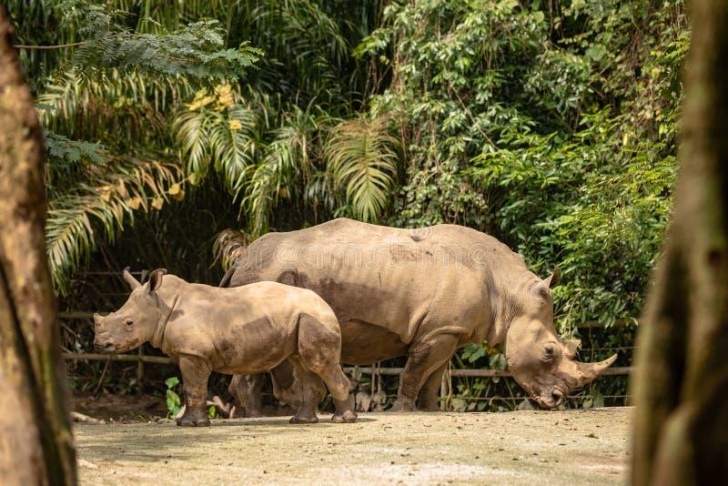 Moeder en kalf van Witte rinoceros of vierkant-lipped rinoceros, Ceratotherium-simum royalty-vrije stock afbeeldingen