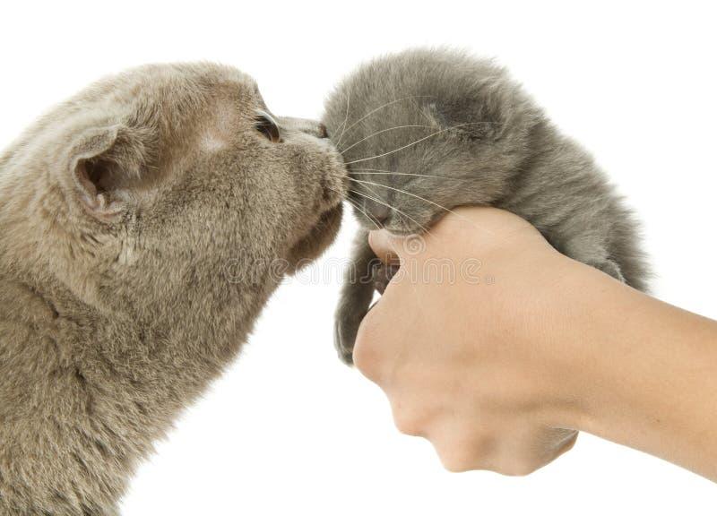 Moeder-kat en klein katje royalty-vrije stock afbeelding