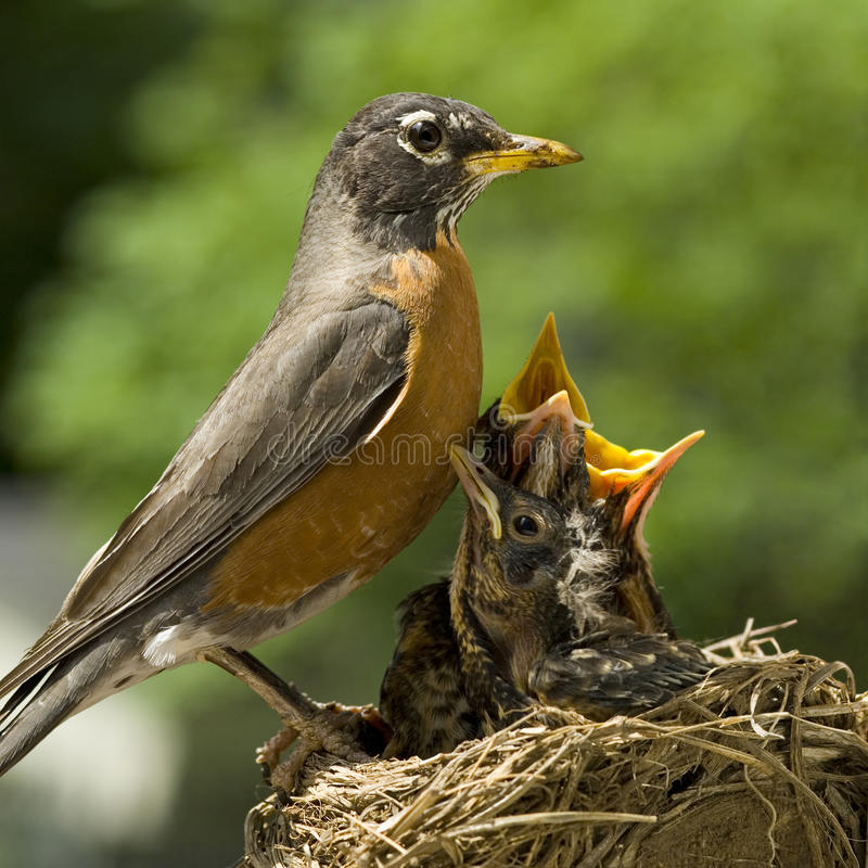 Moeder Robin en Babys in Nest royalty-vrije stock afbeeldingen