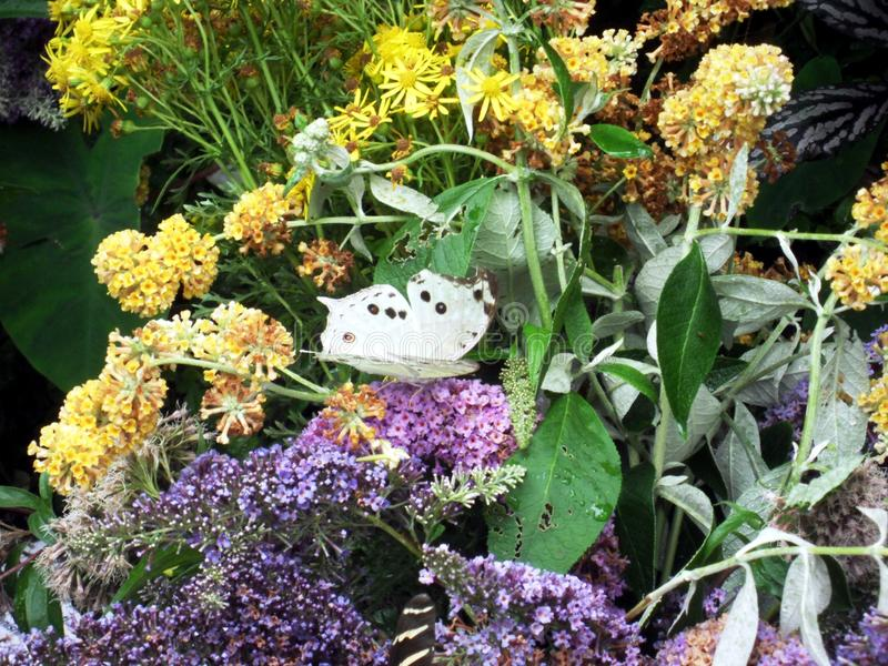Moeder van Parel - Tropische Vlinder royalty-vrije stock afbeeldingen