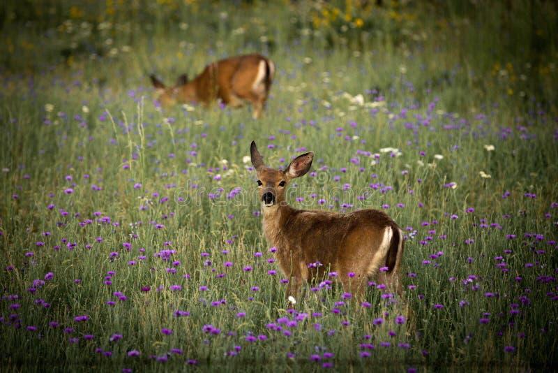 Moederaard Bambi, Herten royalty-vrije stock foto