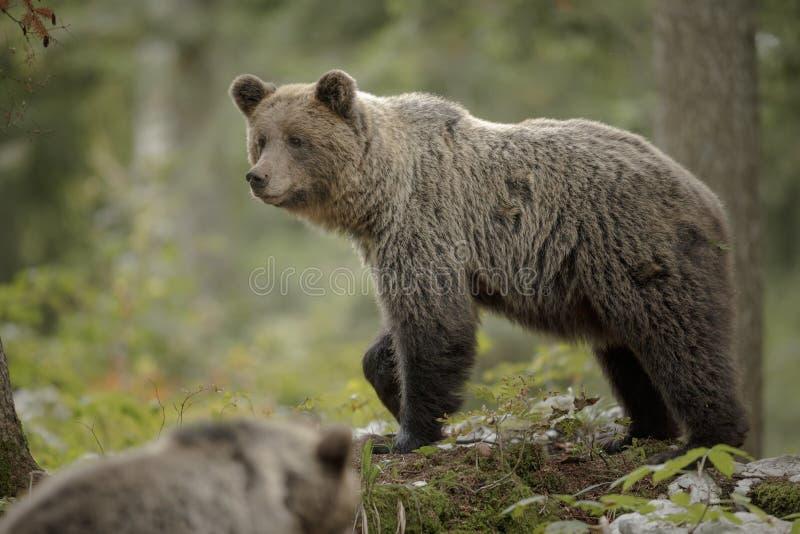 Moederbeer van de patiënt met een kub royalty-vrije stock afbeeldingen
